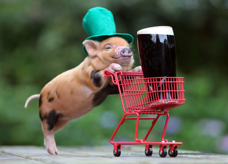 teacup pig, micro pig